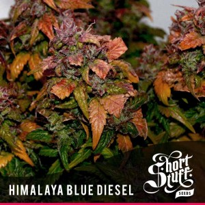 Short Stuff Seedbank Himalaya Blue Diesel