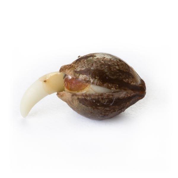 Skunk XL Holandia