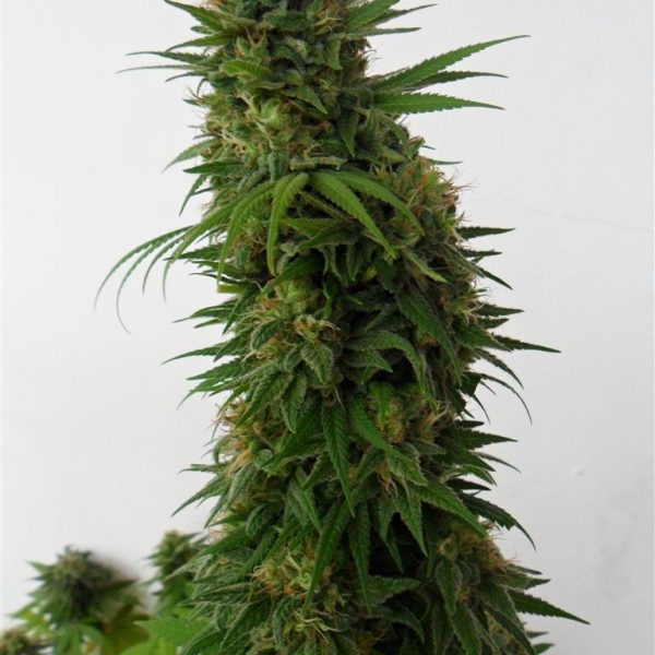 Snow Bud Dutch Passion