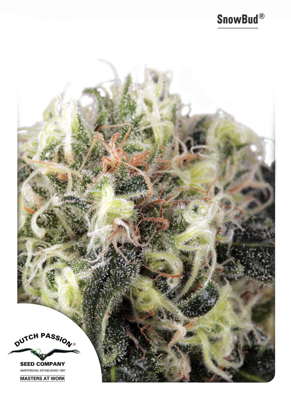 Dutch Passion Snow Bud