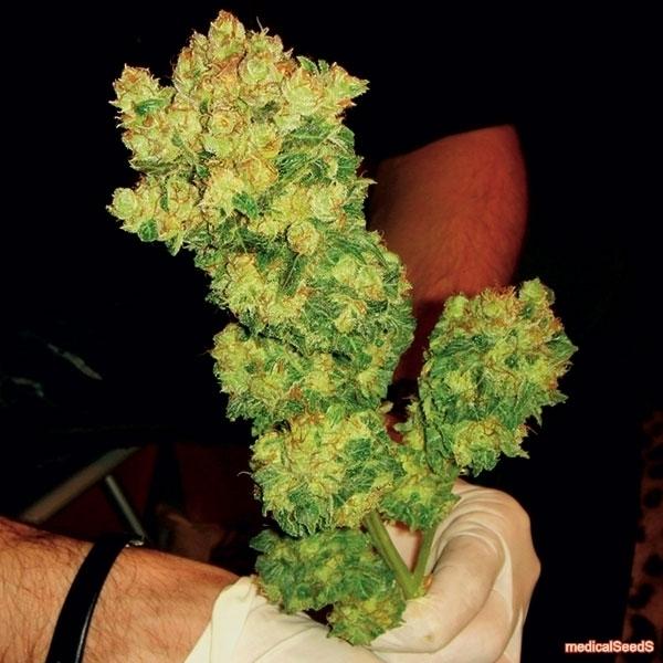 Medical Seeds Bcn Sour Diesel