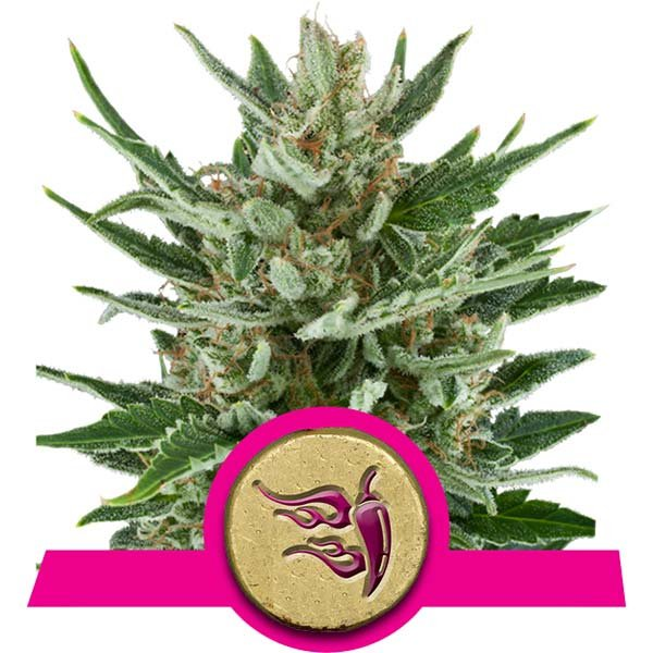 Royal Queen Seeds Speedy Chile Fast Version