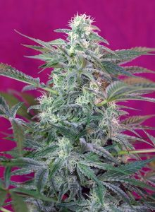 Sweet Seeds Big Foot