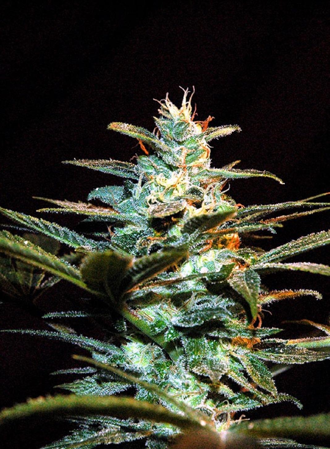 Sweet Seeds Ice Cool