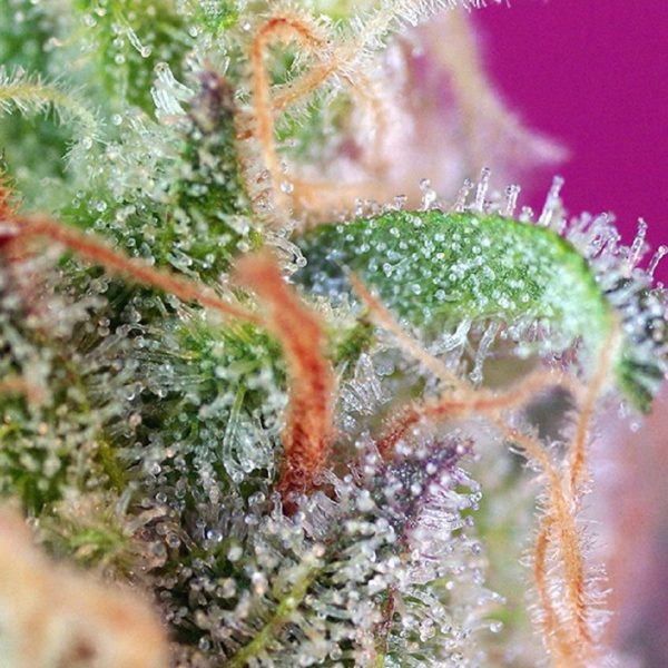 S.A.D. Sweet Afgani Delicious S1® Sweet Seeds