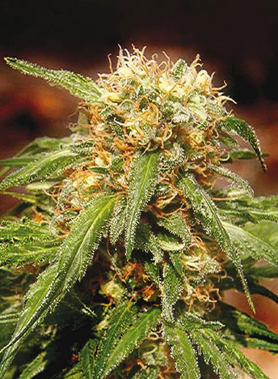 Sweet Seeds Sweet Tai