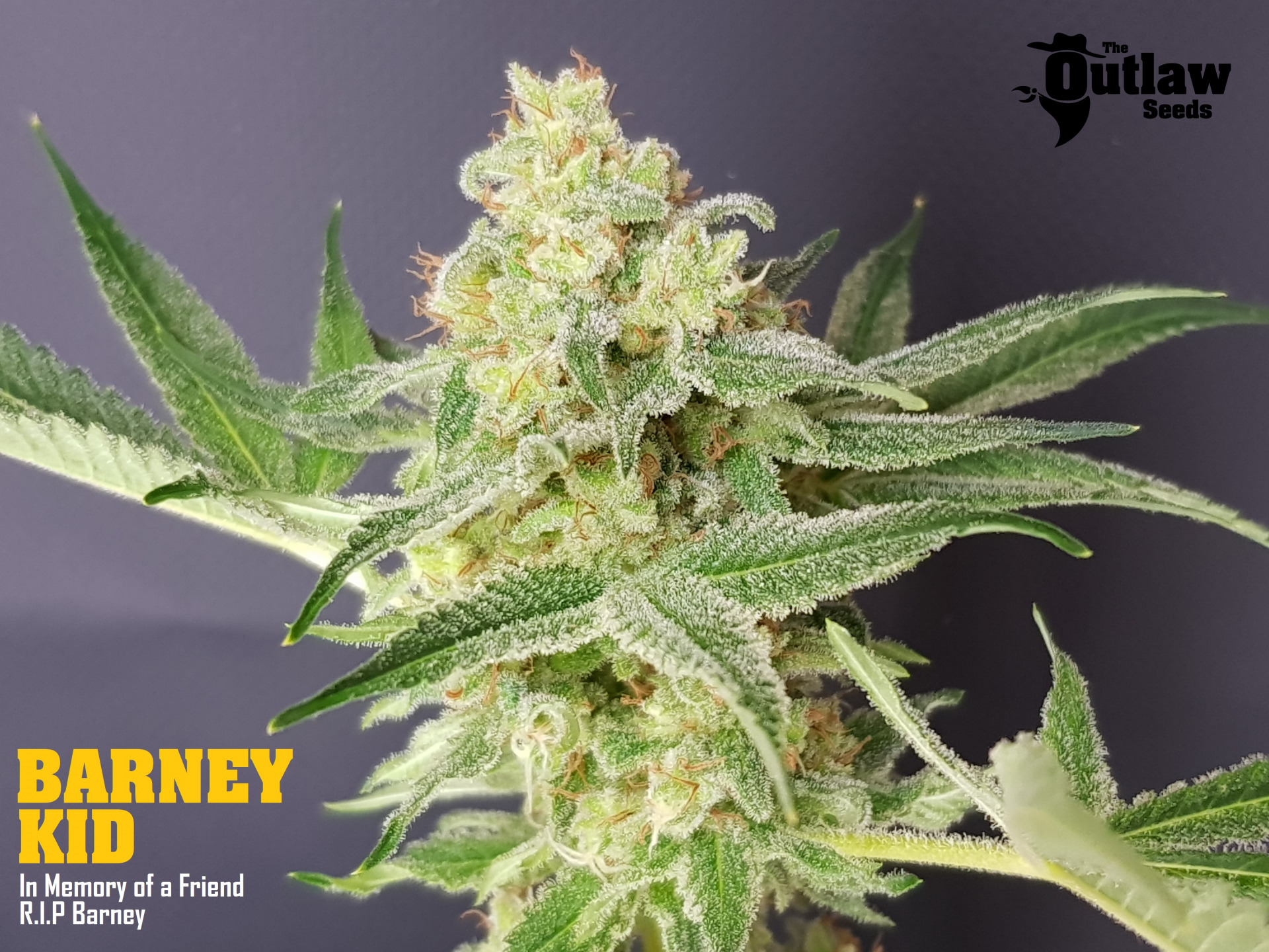 The Outlaw Seeds Barney Kid