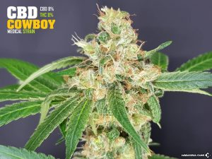 The Outlaw Seeds CBD Cowboy
