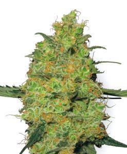 White Label Seed Company Master Kush