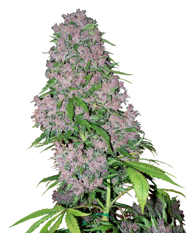 White Label Seed Company Purple Bud