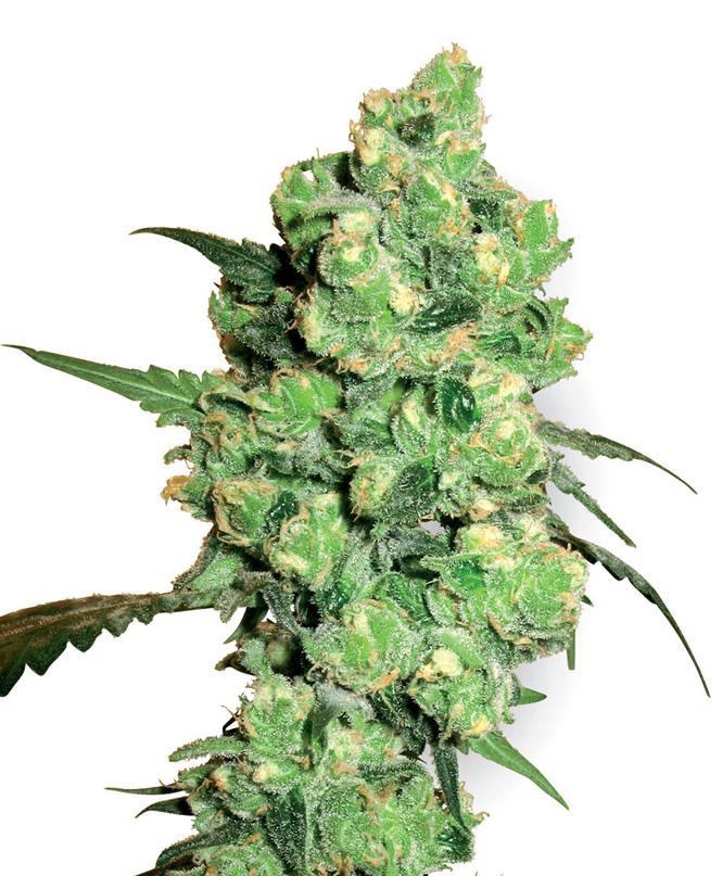 White Label Seed Company Super Skunk