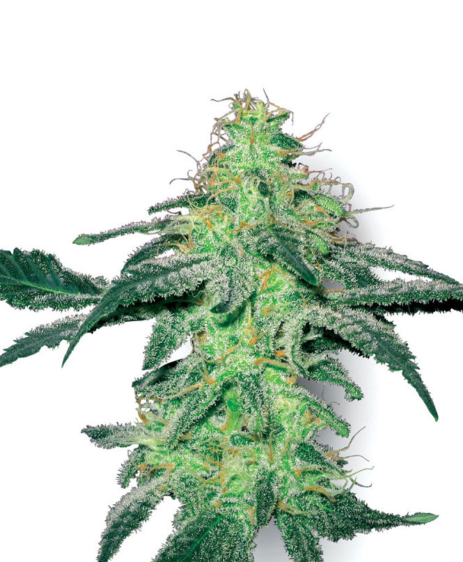 White Label Seed Company White Skunk