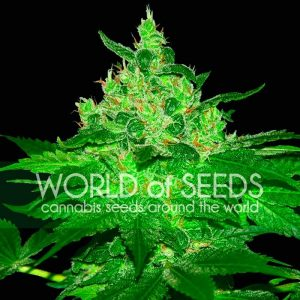 World of Seeds Afghan Kush