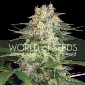 World of Seeds Afghan Kush Ryder