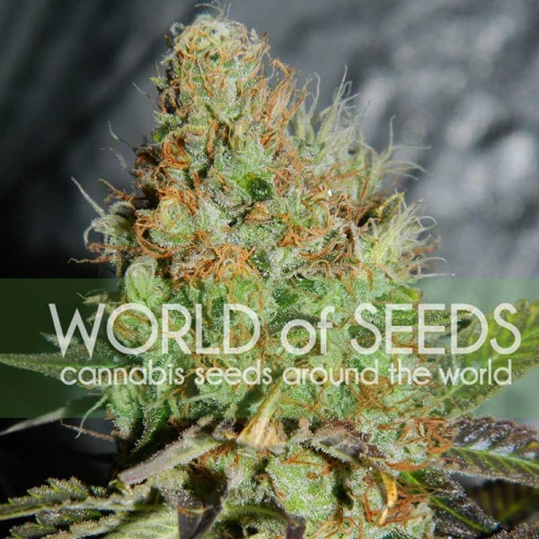 World of Seeds Afghan Kush Special
