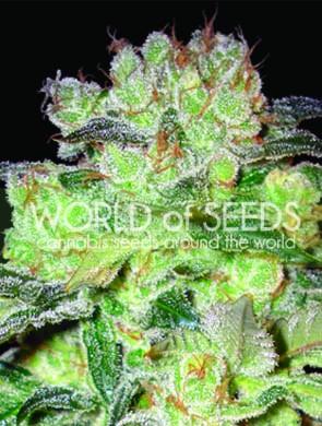 Afghan Kush x White Widow World of Seeds