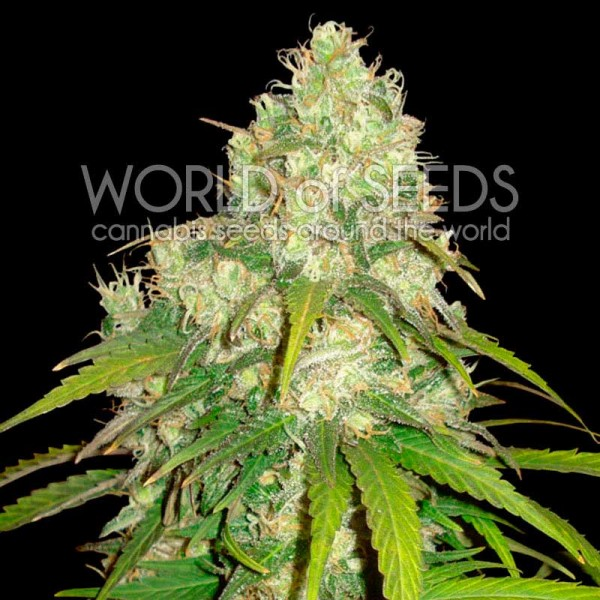 World of Seeds Afghan Kush x Yumbolt