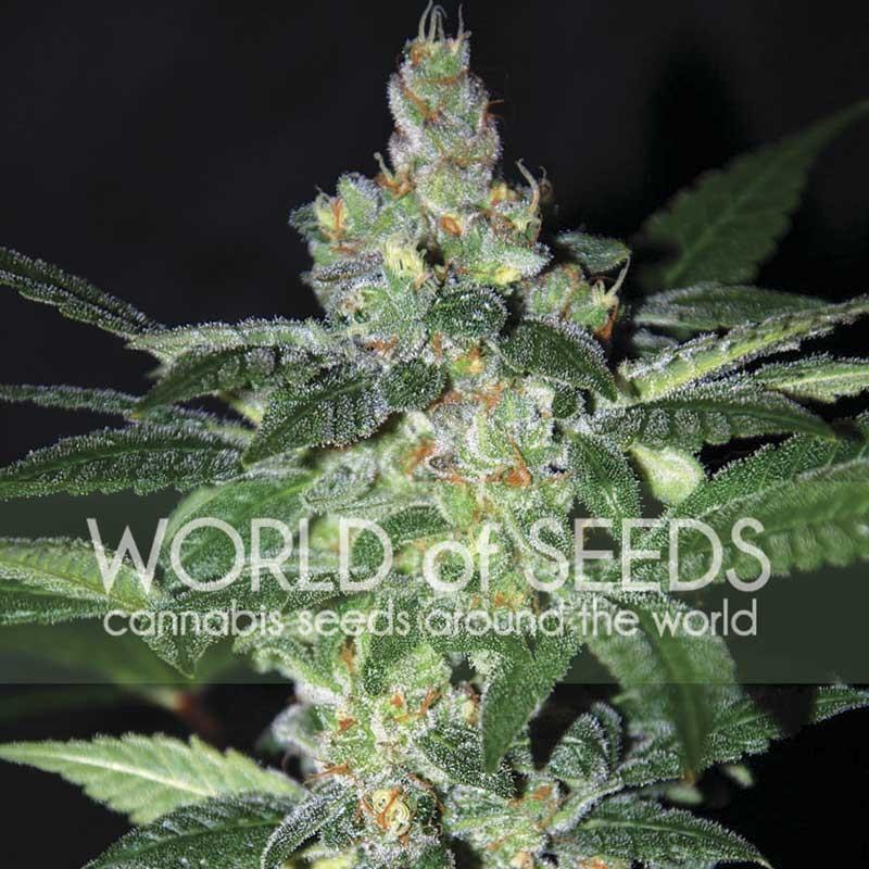 World of Seeds Amnesia