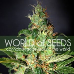 World of Seeds Chronic Haze