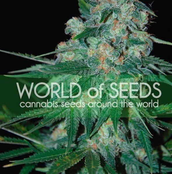 Ketama World of Seeds