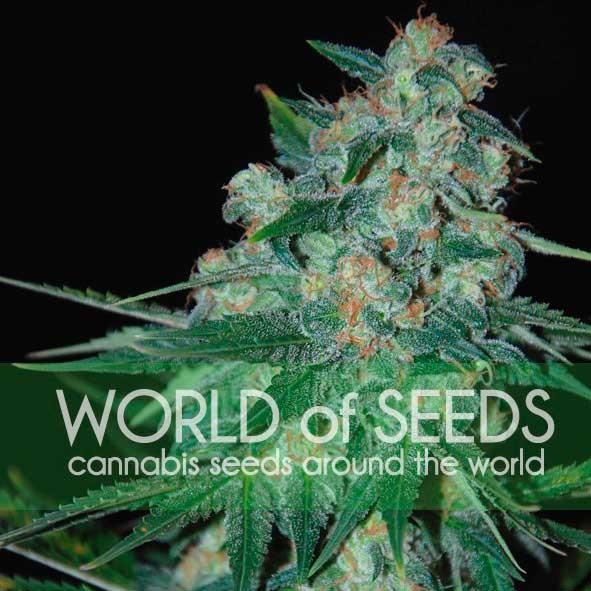 World of Seeds Ketama