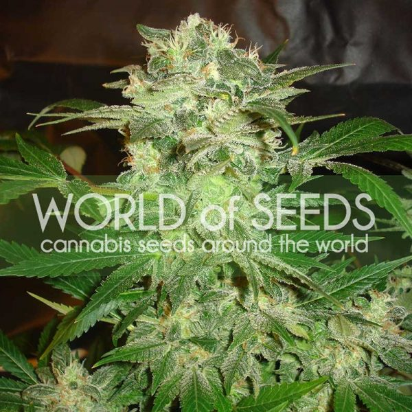 Mazar Kush World of Seeds