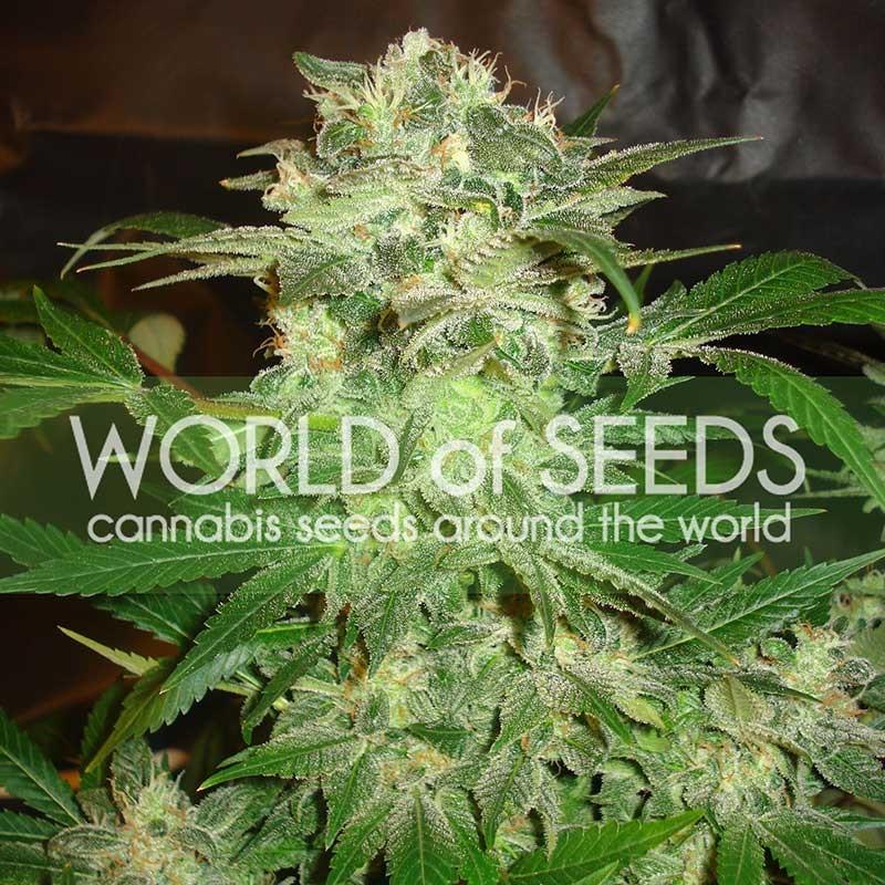 World of Seeds Mazar Kush