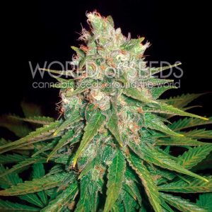World of Seeds Mazar x Great White Shark