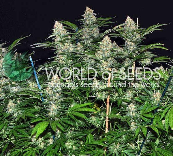 Mazar x White Rhino World of Seeds