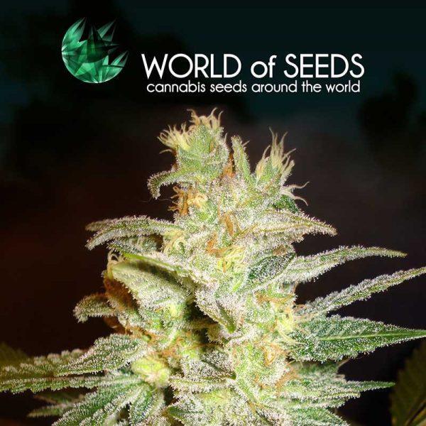 Northern Light x Big Bud World of Seeds