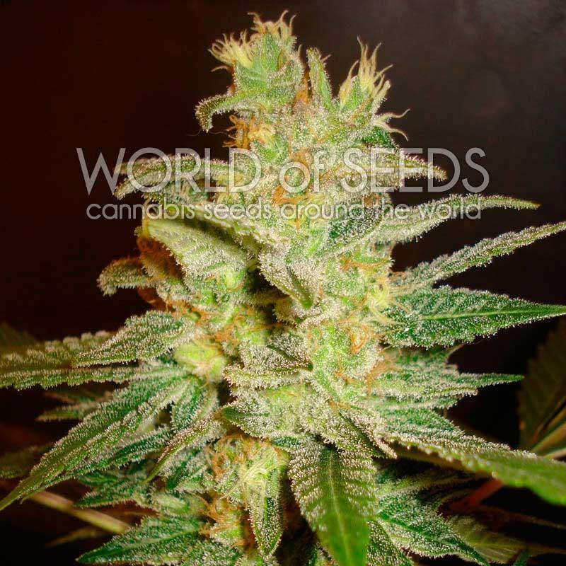 World of Seeds Northern Light x Big Bud
