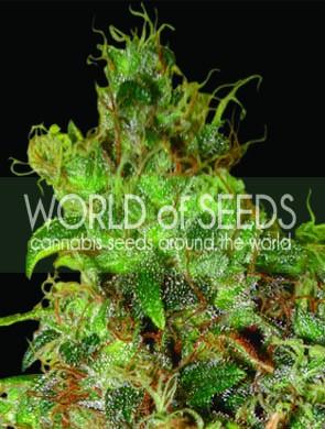 Northern Light x Skunk World of Seeds