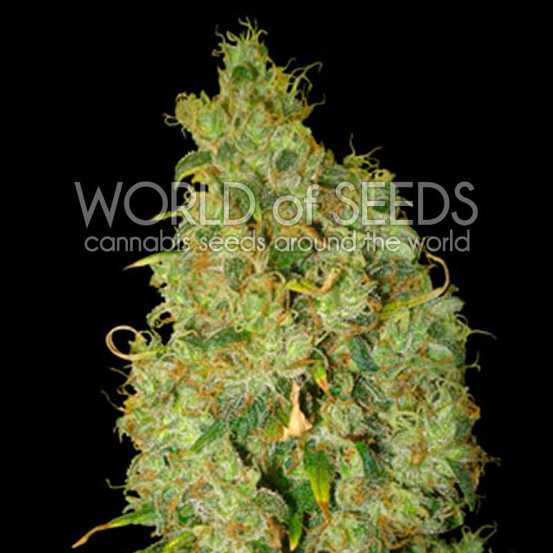 World of Seeds Northern Light x Skunk