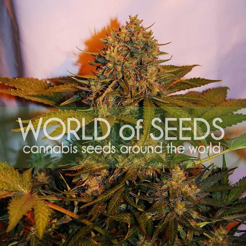World of Seeds Northern Light x Big Bud Ryder