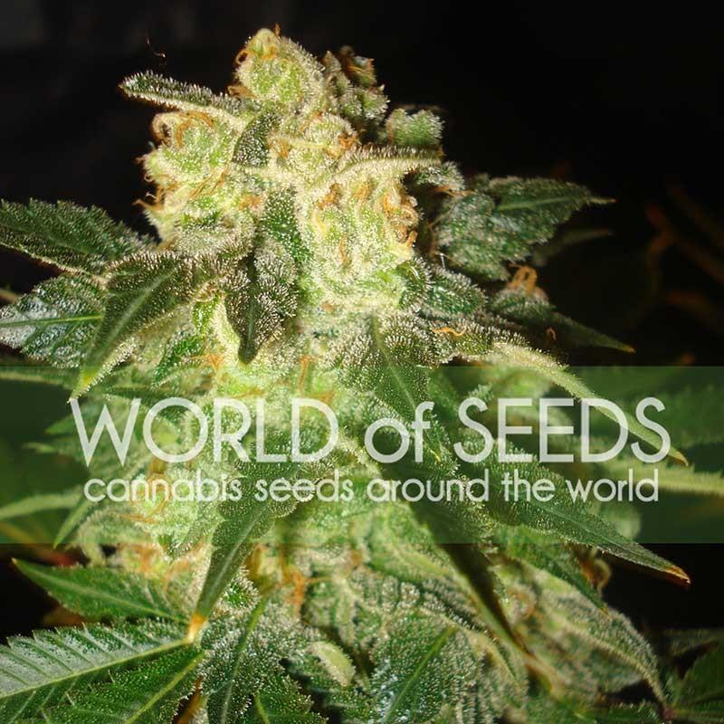 World of Seeds Pakistan Ryder