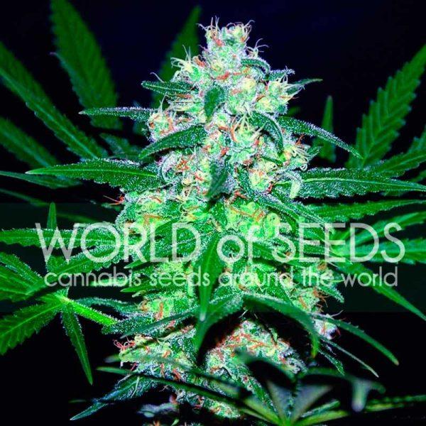 Pakistan Valley World of Seeds