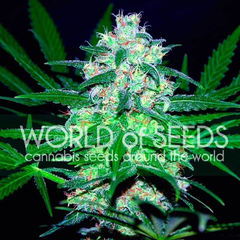 World of Seeds Pakistan Valley