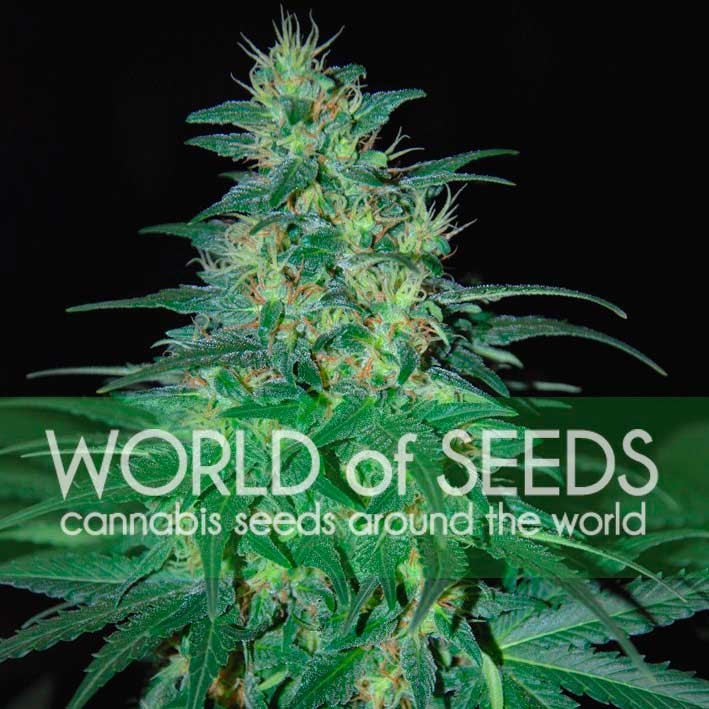 World of Seeds South African Kwazulu