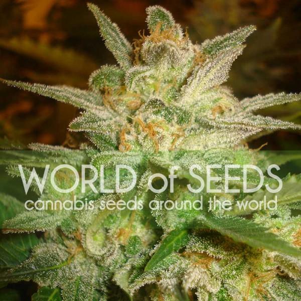 World of Seeds Star 47