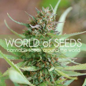 World of Seeds Strawberry Blue
