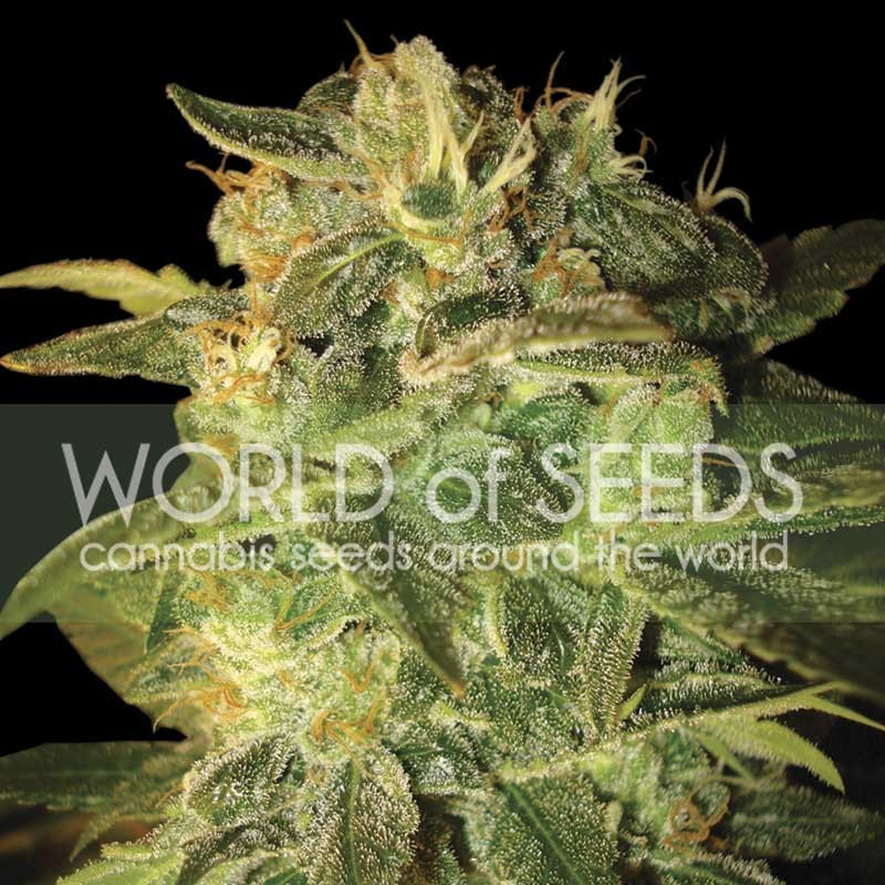 World of Seeds Sugar Mango Ryder