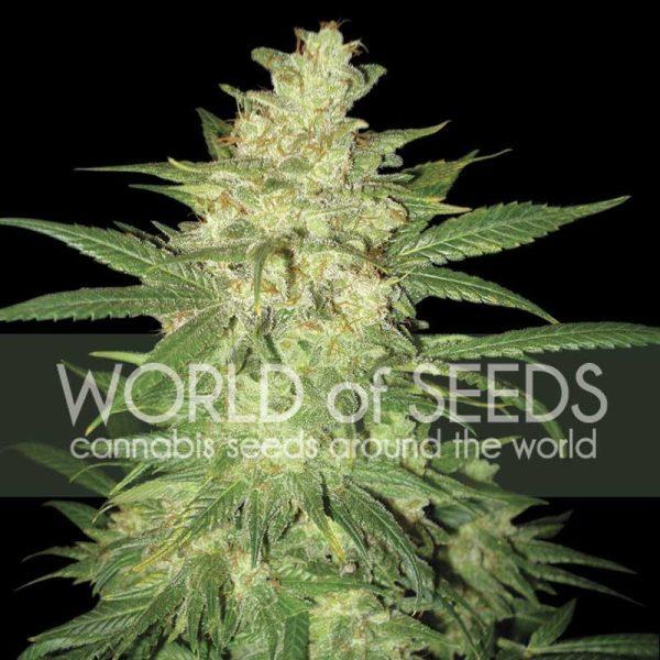 Sweet Coffee Ryder World of Seeds