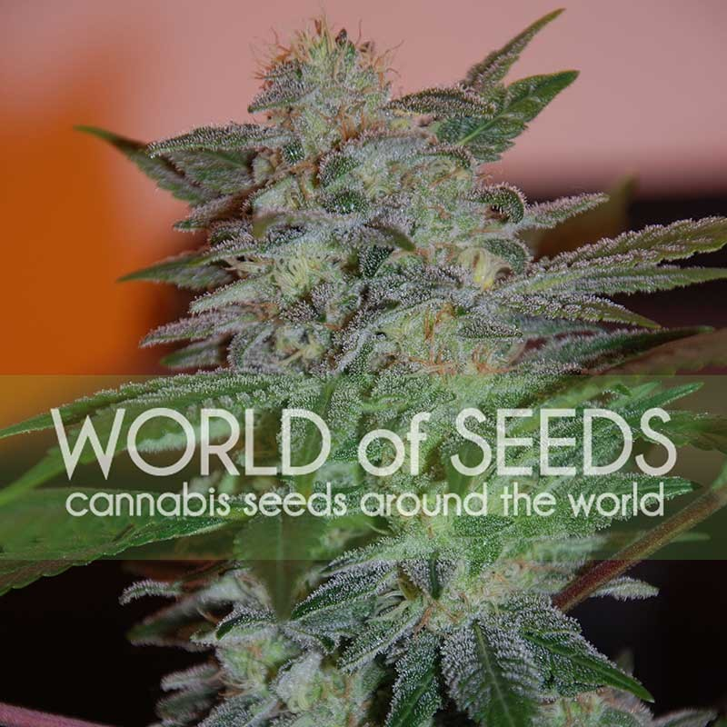 World of Seeds Yumbolt 47