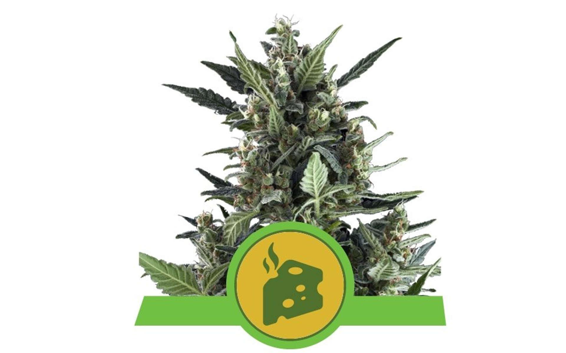 Blue Cheese najlepsza odmiana marihuany