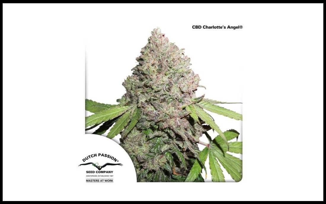 CBD Charlotte's Angel medyczna marihuana