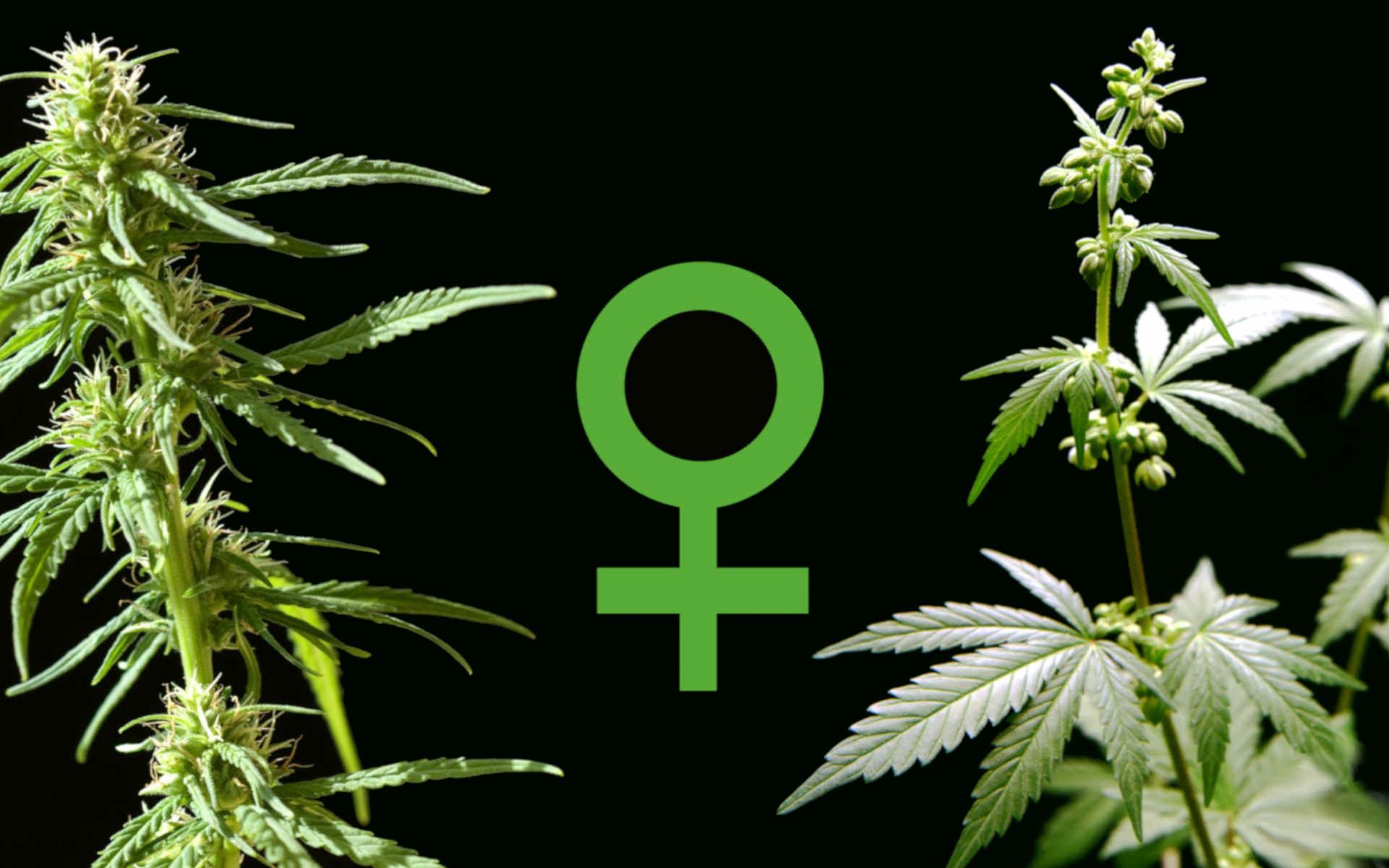 Co to są nasiona feminizowane?