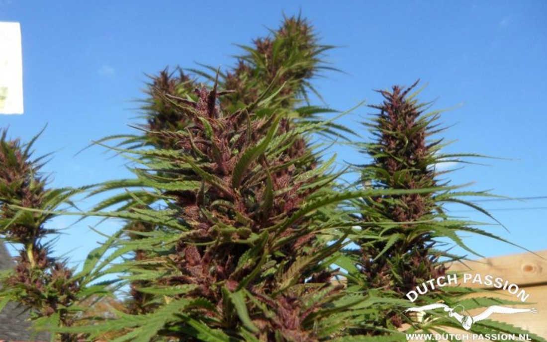 Fioletowa odmiana outdoor Purple 1