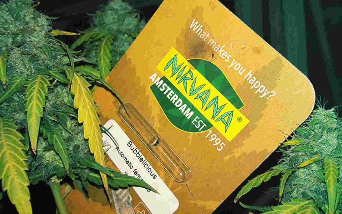 Nasiona marihuany Nirvana Seeds