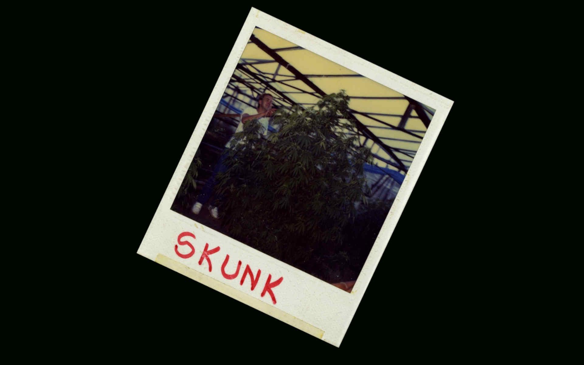 Skunk Sensi Seeds nasiona marihuany