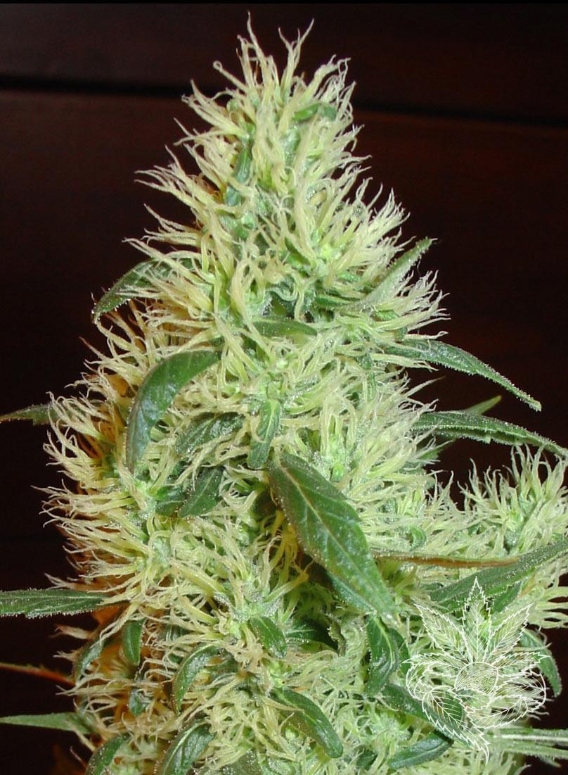 Homegrown Fantaseeds White Widow